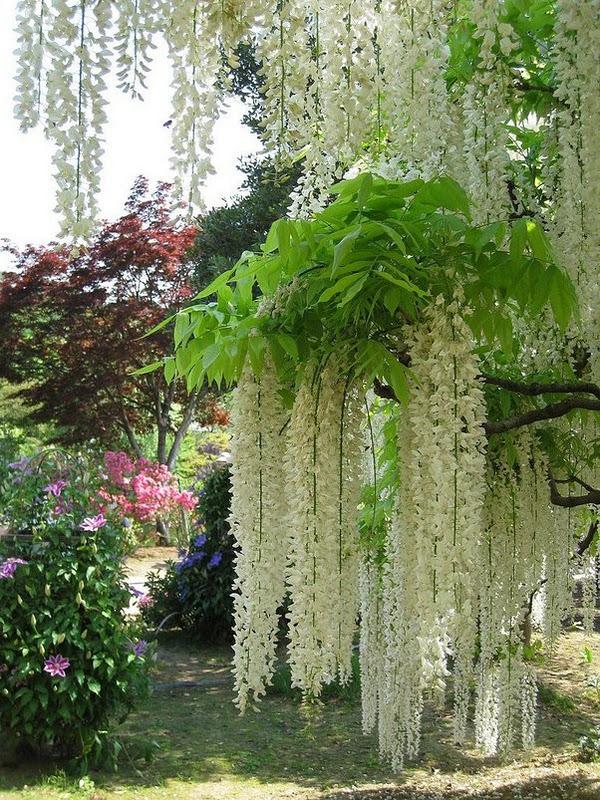 Japan Garden Flowers: Glory's Garden: Wisteria Of Japan
