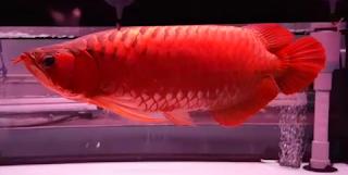 Gambar budidaya ikan arwana super red