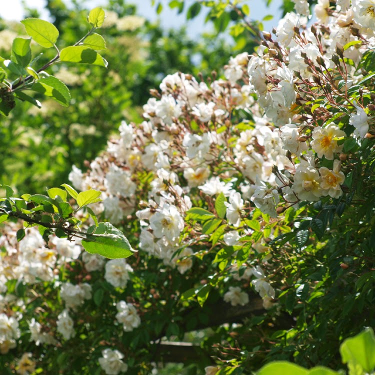 Smuk og livskraftig klatrerose med cremefarvede blomster. En meget robust og blomstrende rose. En farvoritrose