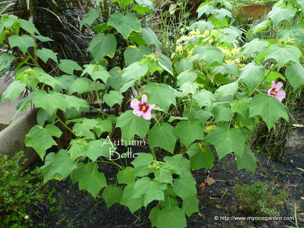 My nice garden hibiscus mutabilis a single flower variety that 5 ccuart Images
