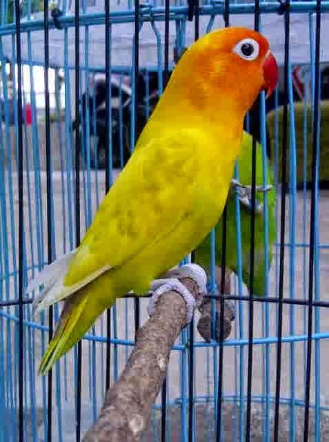 Image Result For Cara Merawat Love Bird Supaya Ngekek Panjang