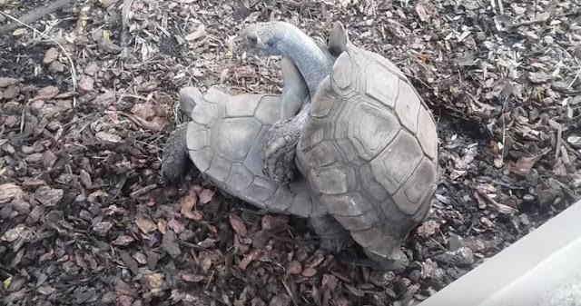 Diego, la tortuga gigante que salvó a su especie