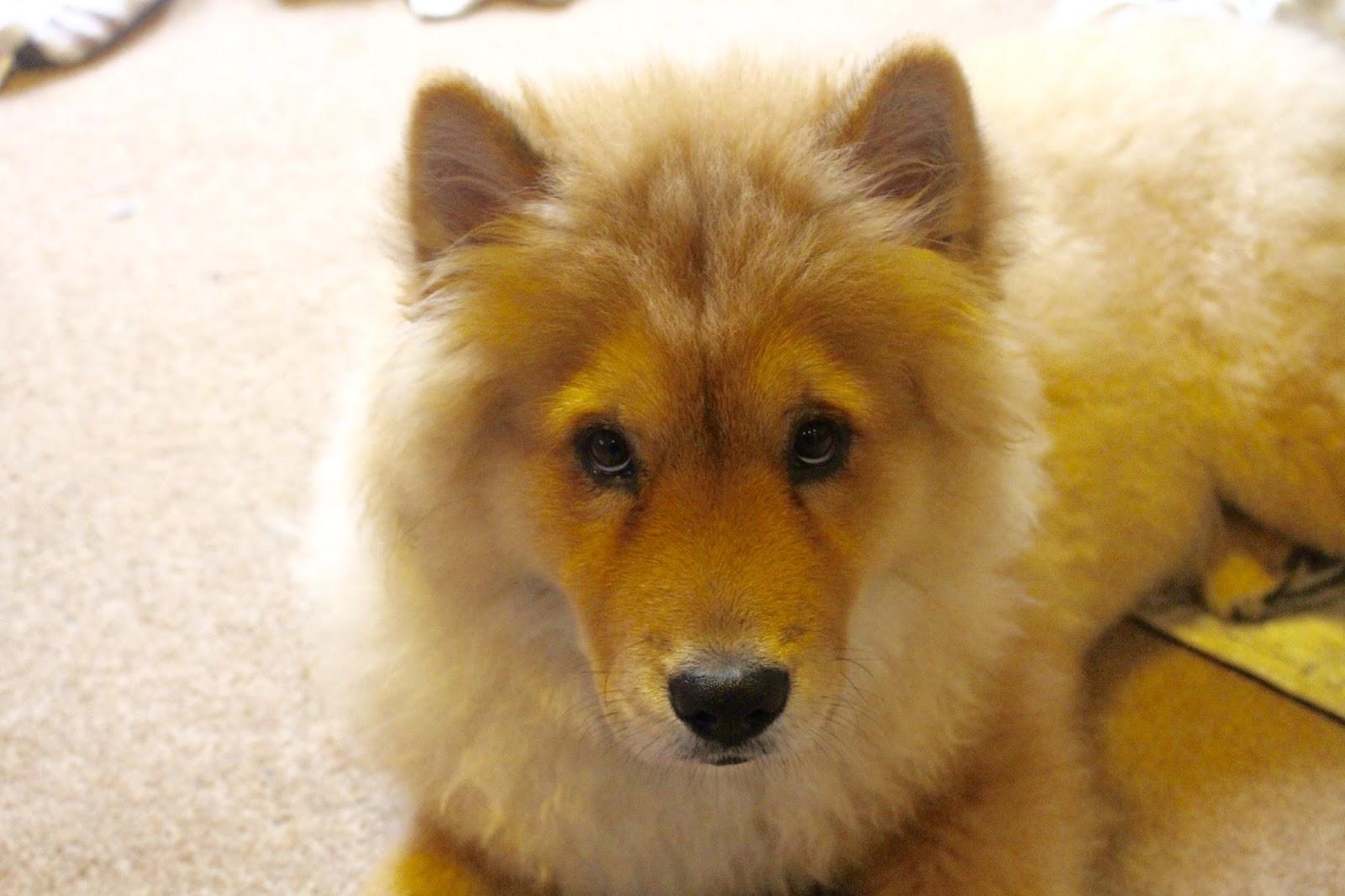 chow chow puppy borrowmydoggy