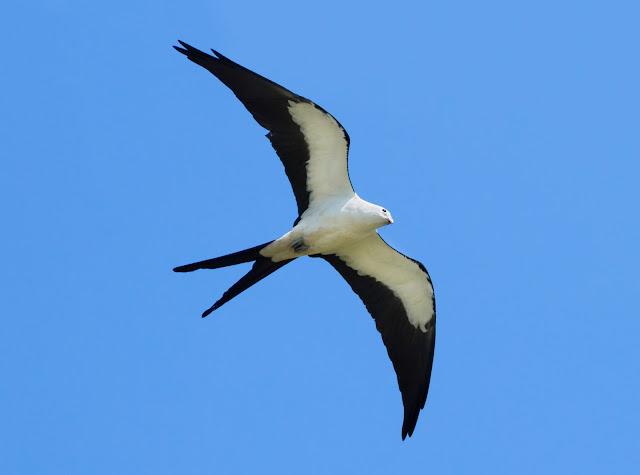 Swallow-tailed Kite - Florida