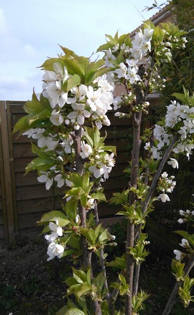 cerisier, plante, jardin, arbre, bullelodie