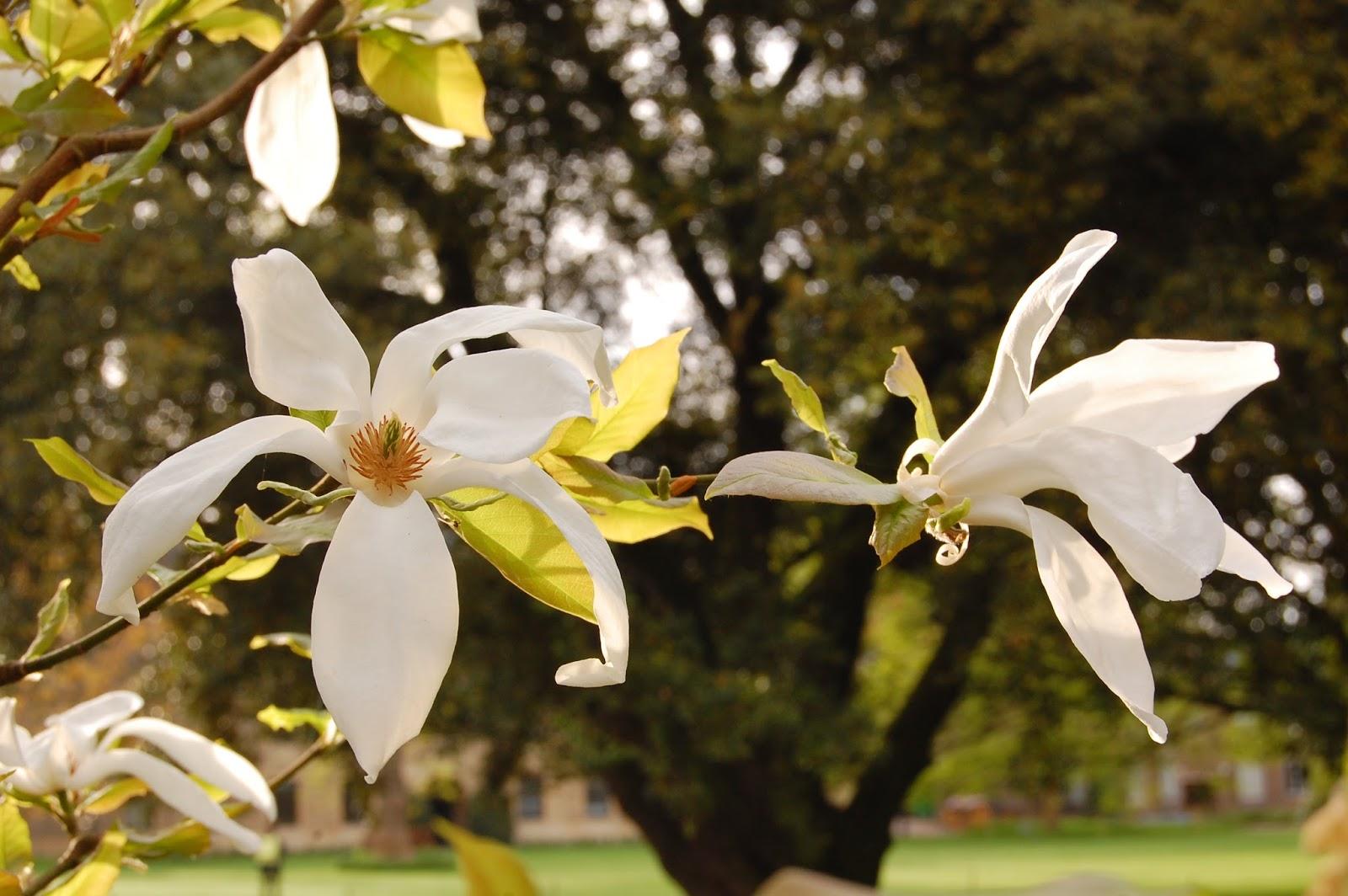 Worcester College Gardeners: Magnolia salicifolia \'Wada\'s Memory\'