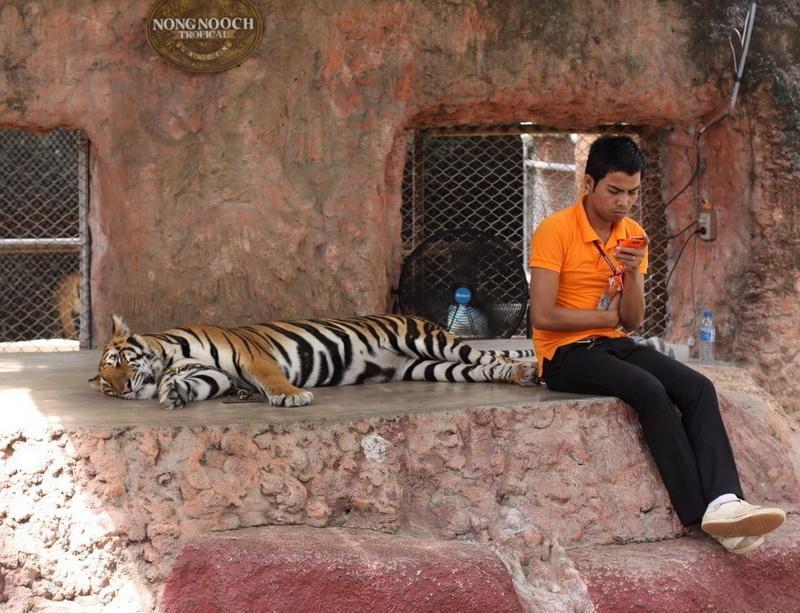 Тигр в Нонг Нуч