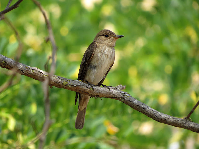 Spotted flycatcher, via Roma, Livorno