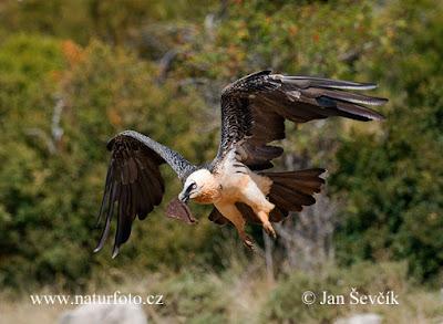 O abutre-barbudo é conhecido também por abutre-das-montanhas, abutre-dos-cordeiros e quebra-ossos.  A ave se alimenta quase exclusivamente de ossos que, senão engolidos inteiros, são atirados ao solo durante o voo, para que quebrem e possam ter seu tutano ou medula extraído. O interior dos ossos é  fonte de proteínas não aproveitadas por outras espécies carniceiras (necrófagas).
