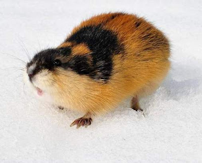 Lemming - Animals starting with letter L