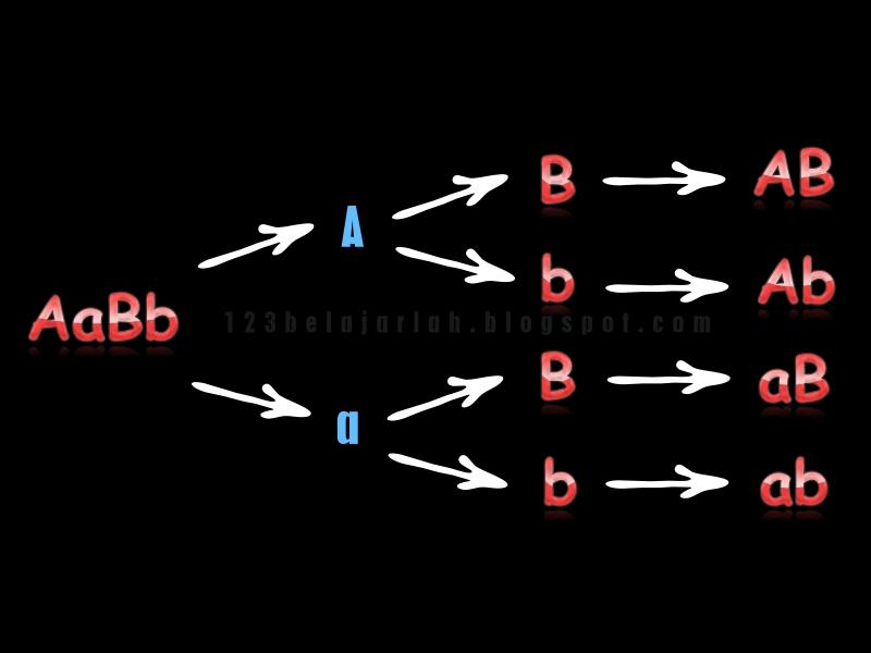 Cara mencari jumlah dan macam gamet 123 belajarlah cara mencari jumlah dan macam gamet ccuart Choice Image