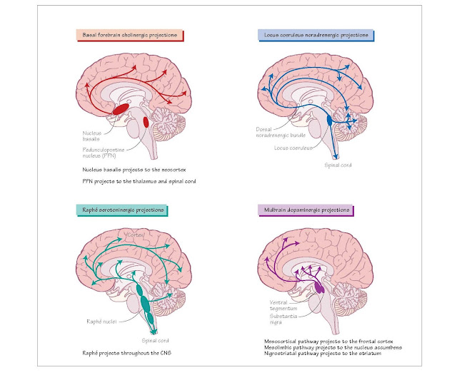 Main CNS neurotransmitters and their function  Amino acids  Excitatory  Glutamate Widespread throughout CNS 1. Inotropic: N-methyl-D-aspartate (NMDA); and non-NMDA receptors including α-amino-5- hydroxy-3-methyl-4-isoxazole propionic acid (AMPA); kainate and quisqualate receptors   Epilepsy (Ch. 61)  Inhibitory  γ-aminobutyric acid (GABA)  2. Metabotropic Excitotoxic cell death (Ch. 60)  Widespread throughout CNS GABA-A Spinal cord motor disorders (Ch. 37) GABA-B Epilepsy (Ch. 61) Anxiety (Ch. 59)  Glycine Spinal cord Glycine Startle syndromes (Ch. 35) Monoamines*  Noradrenaline (norepinephrine)  Serotonin (5-hydroxytryptamine; 5-HT)