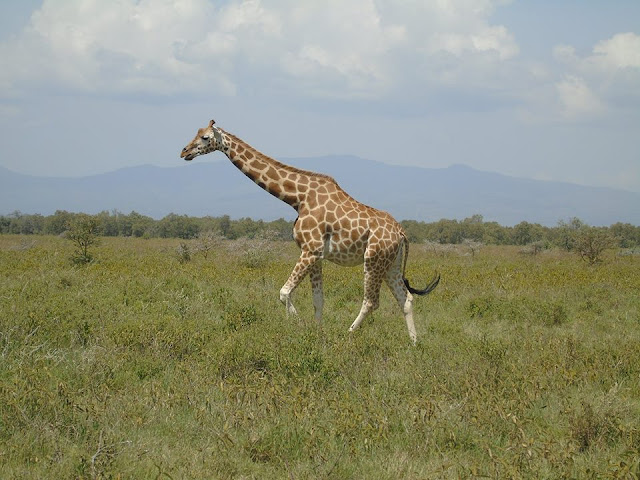 giraffe lake nakuru national park kenya safari