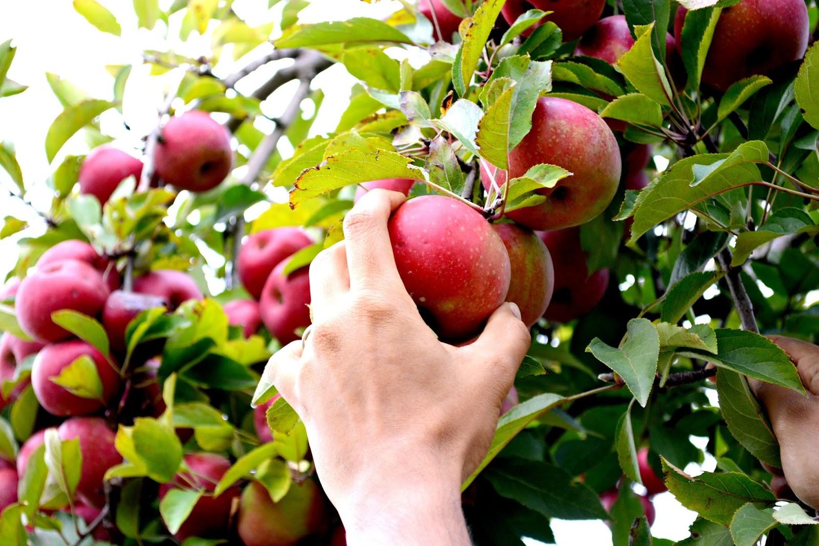 A foodie's travelogue #2 - Apple Picking at Ellijay, Georgia - Love