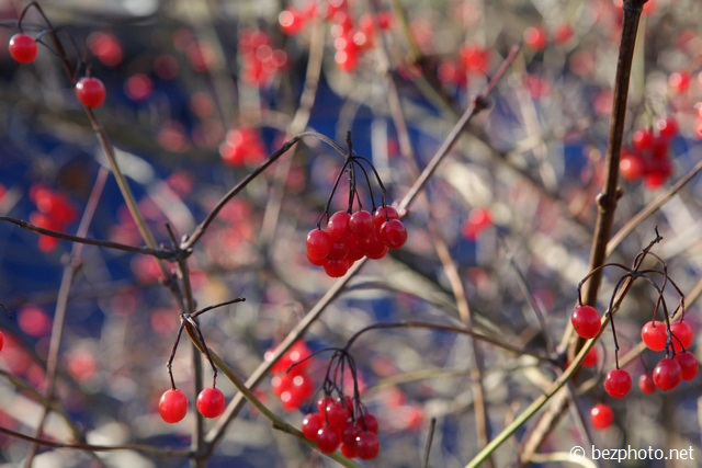 картинки калина красная осенью