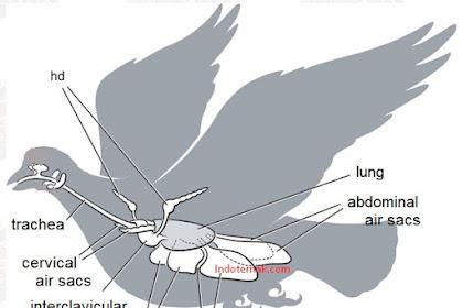 Seputar Saccus Pneumaticus Pada Burung
