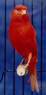 Ciri Ciri Burung Kenari Merah Paling Lengkap Dengan Gambarnya