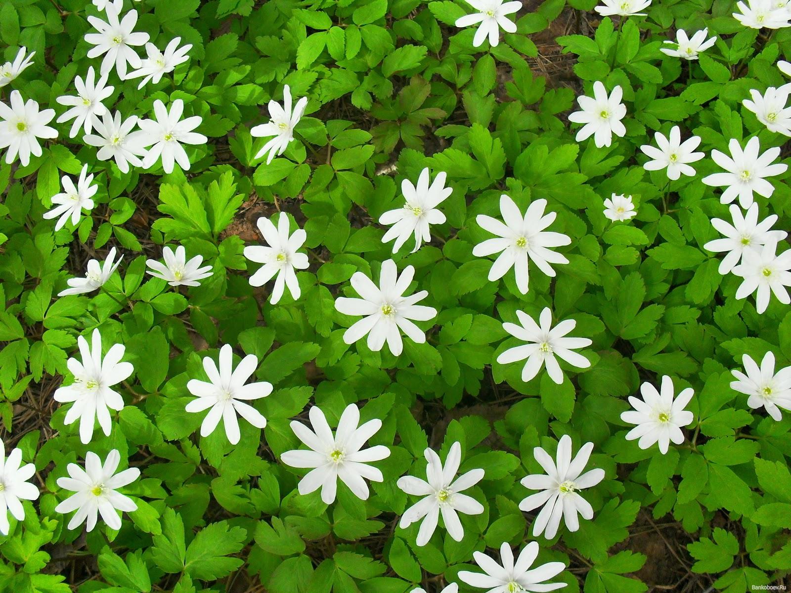 Wallpapernarium: Flores Blancas