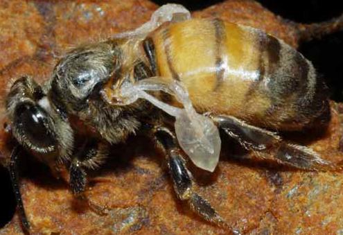 Προσοχή μελισσοκόμοι θερίζει η βαρρόα