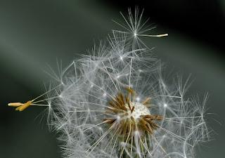 dandelion-411756__340.jpg