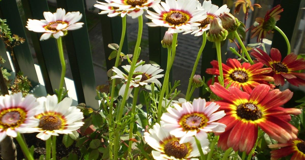 flores en sobre semilas CRISANTEMO TRICOLOR