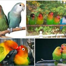 Lovebird, 12 Hal Unik Yang Wajib Diketahui Pecintanya