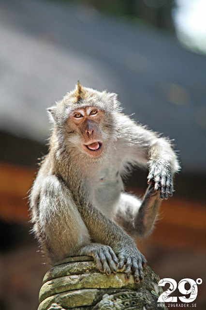 Sangeh Monkey Forest (Bortom turiststråken del 5)