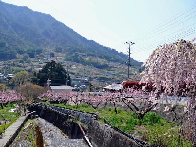 戸倉地区の桃