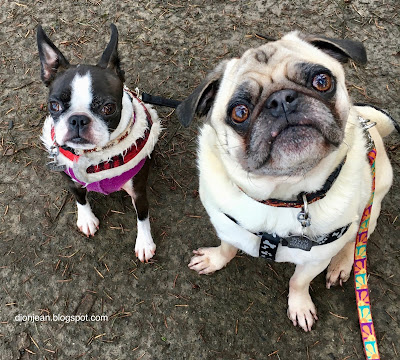Pug and Boston terrier at the park
