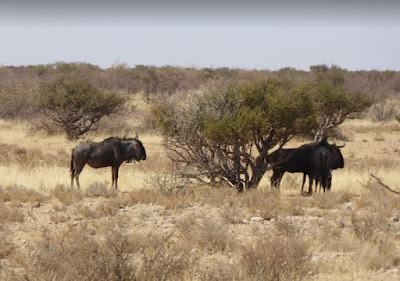 Blue wildebeest al Lapa Lange