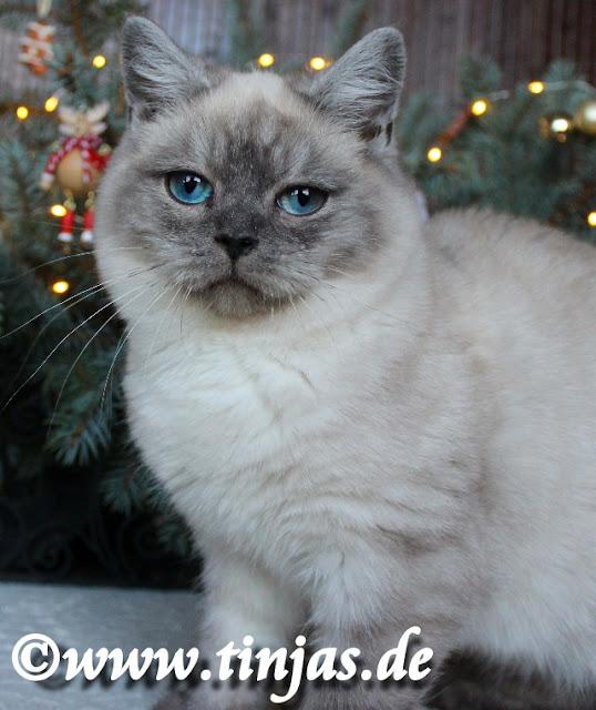 Britisch Kurzhaar leuchtend blaue Augen