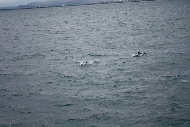 Dolphins swimming about our boat in Iceland.