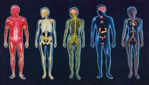 Twelve Human Organ Systems and Functions