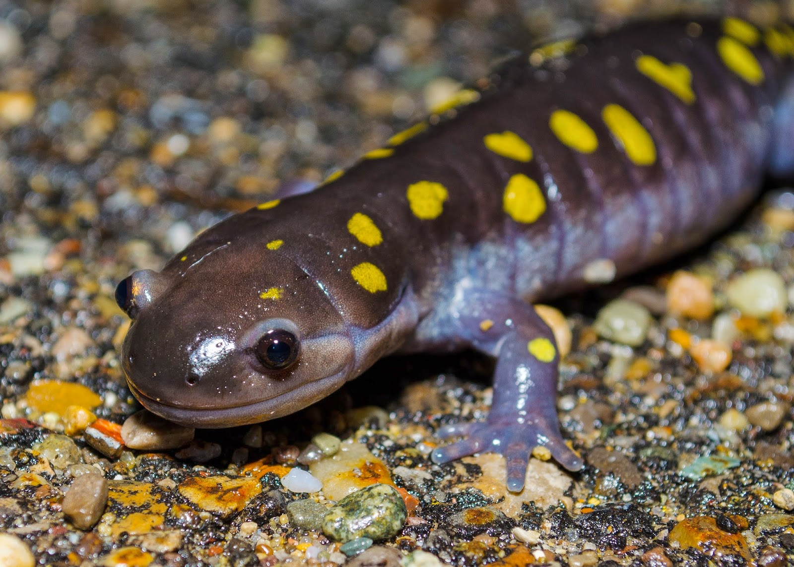 Spotted Salamander Ohio