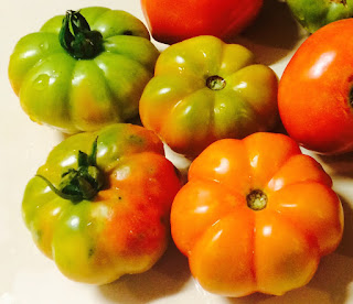 Handful of Costoluto Genovese heirloom-variety tomatoes ripen on a table