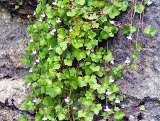Cimbalaria (Cymbalaria muralis)