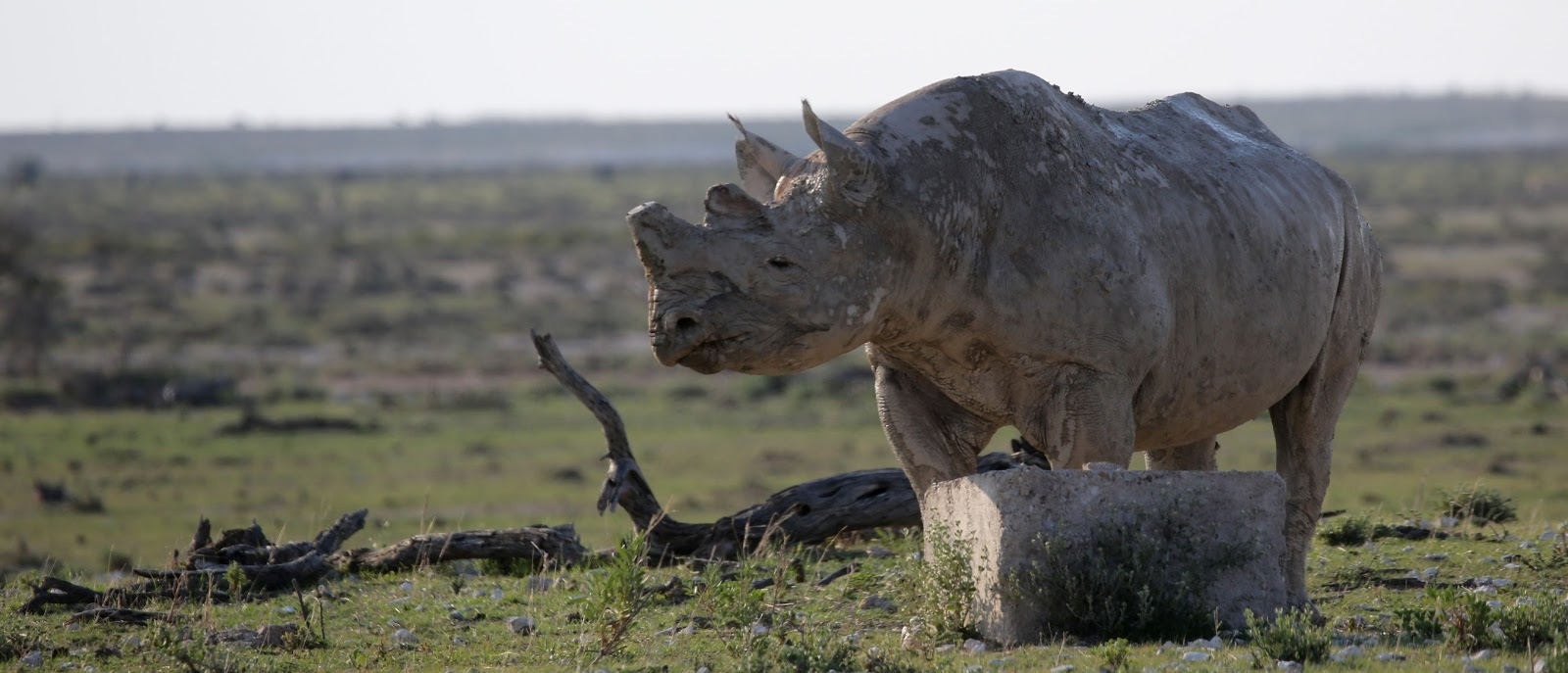what does a rhino look like
