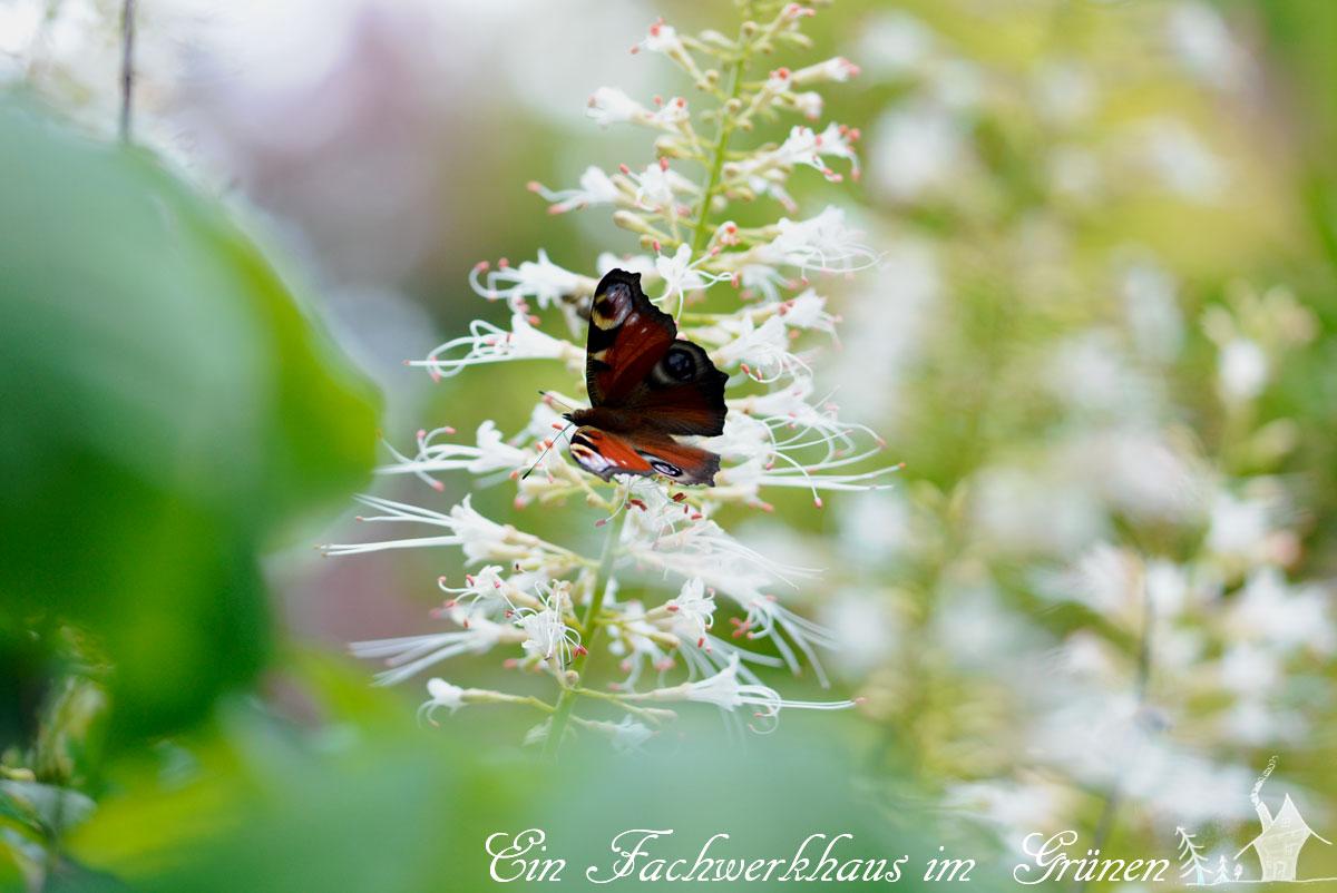 Strauchkastanie, Aesculus parviflora