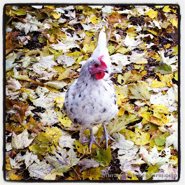 chicken standing on fall leaves