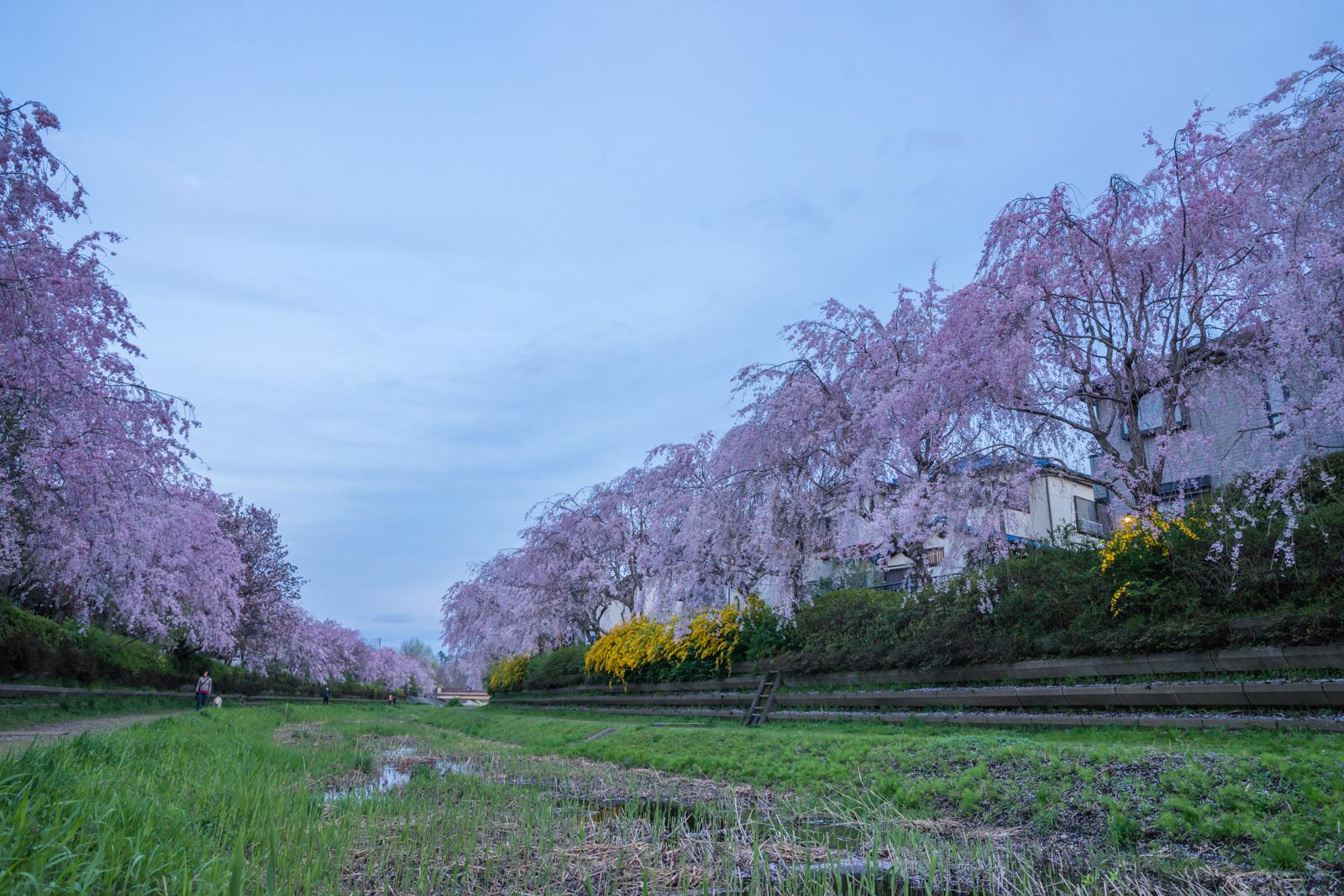 小金井市野川沿いの桜の写真