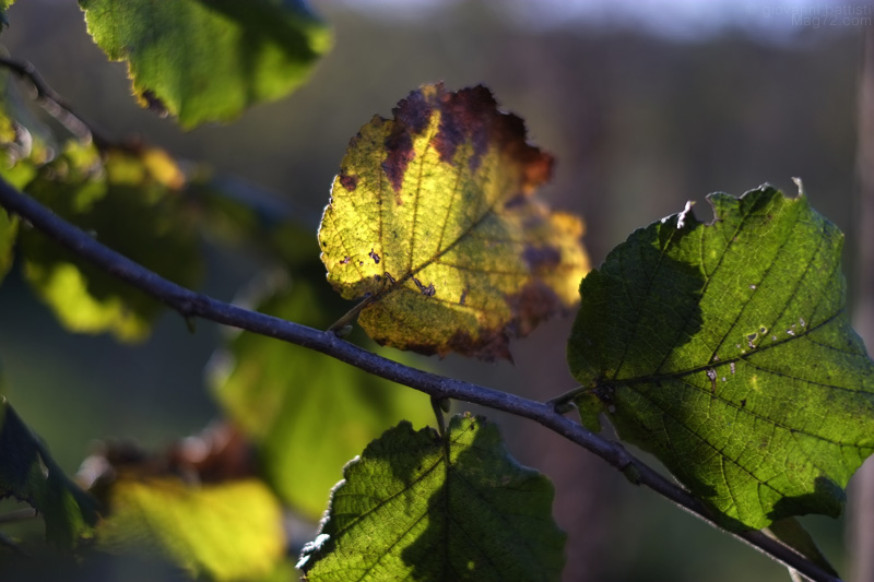 Foglia di nocciolo in autunno
