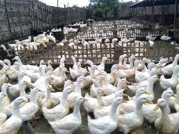45++ Gambar hewan ternak bebek terbaru