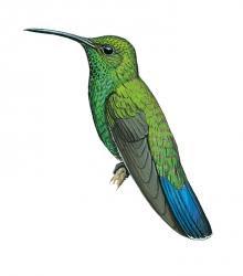 Anthracothorax viridis