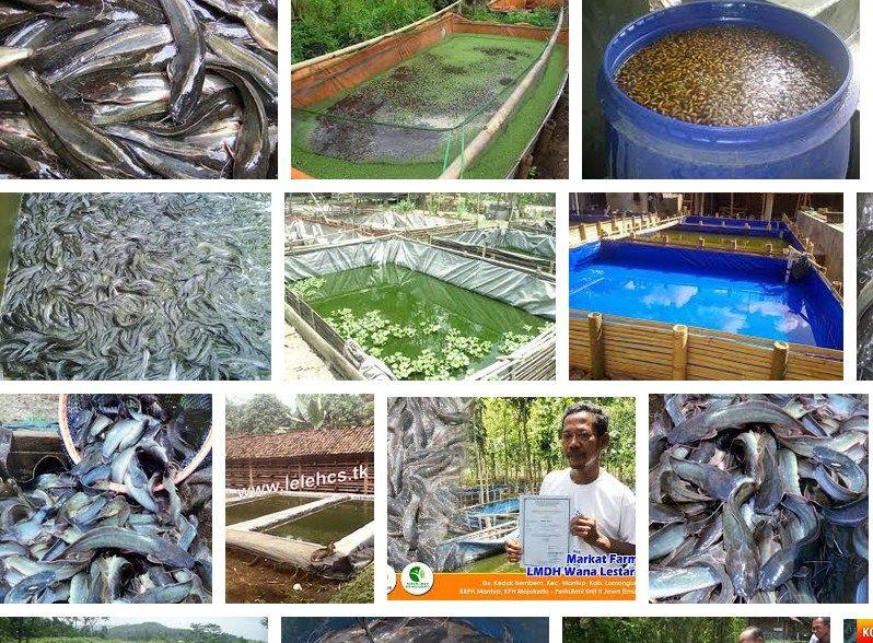 Gambar cara pembesaran ikan lele di kolam tembok