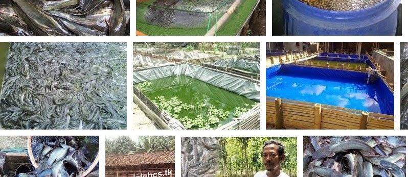 Budidaya Ikan Lele Organik Hemat Pakan Hasil Melimpah