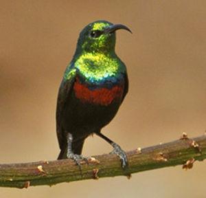 Burung marico sunbird atau Mariqua sunbird (Cinnyris mariquensis) adalah species burung madu yang klasifikasi Ilmiahnya disebut dengan Nectariniidae