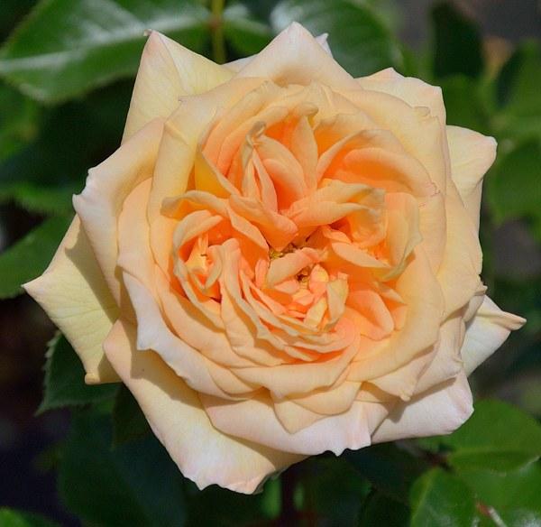 La Calissone сорт розы фото саженцы купить Минск