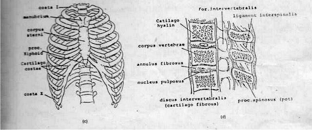 sendi sternum di dada manusia