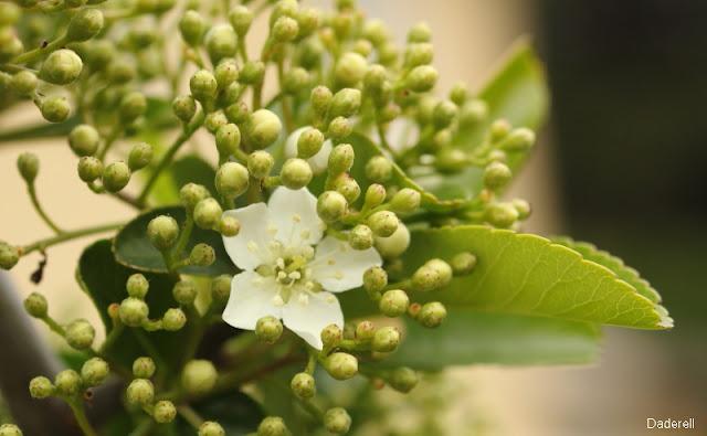 Fleur de cotonéaster