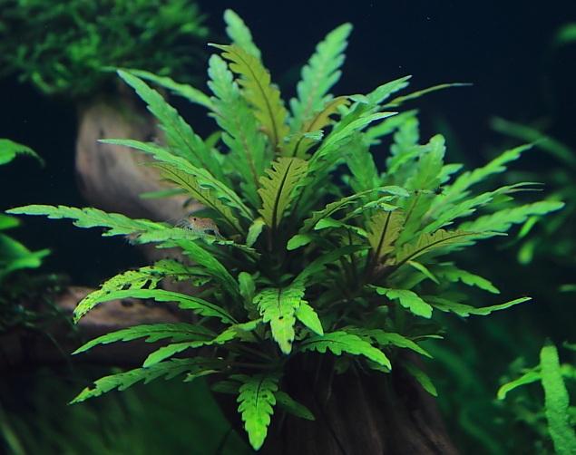 Vẻ đẹp của cây thủy sinh Liễu răng cưa